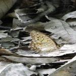 サトキマダラヒカゲの蛹!特徴や飼育について!