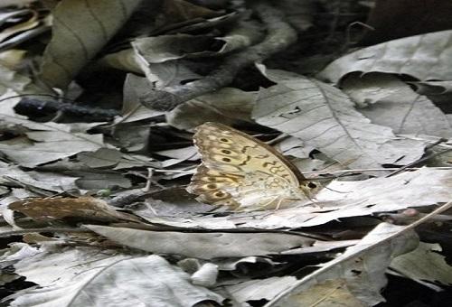 サトキマダラヒカゲ 蛹