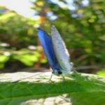 ルリシジミの蛹!生態や特徴について!
