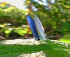 ルリシジミ 蛹