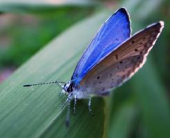 ルリシジミ 幼虫