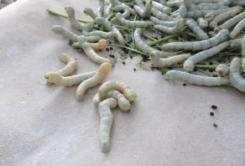 蚕 糞 成分 肥料