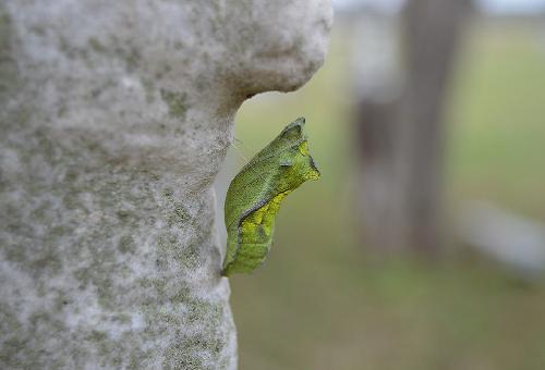 モンシロチョウ 蛹 期間 育て方