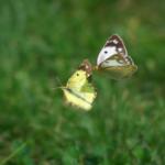 モンキチョウとモンシロチョウの違いについて!