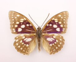 オオムラサキ 標本 値段