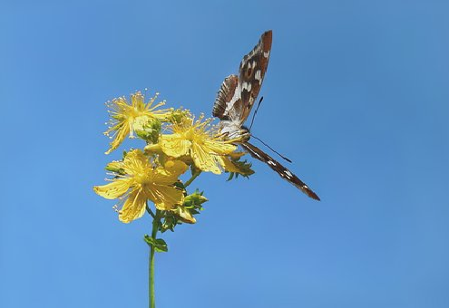 オオムラサキ 成虫 飼育 餌