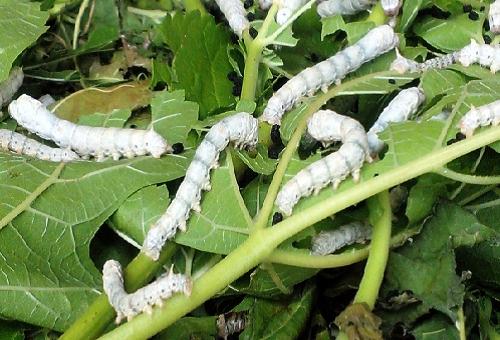 蚕 飼育 桑 保存