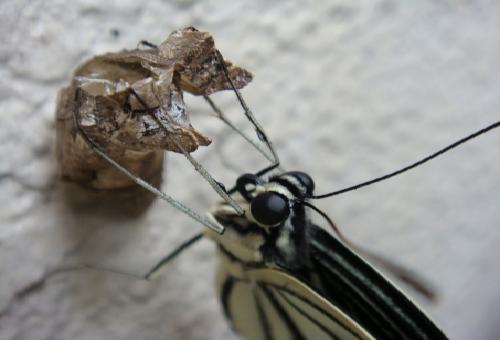 アゲハ蝶 羽化 時期 時間帯