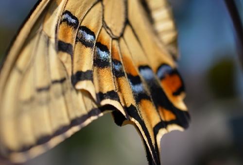 アゲハ蝶 羽 模様
