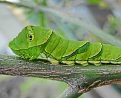 アゲハチョウ 幼虫 飼育