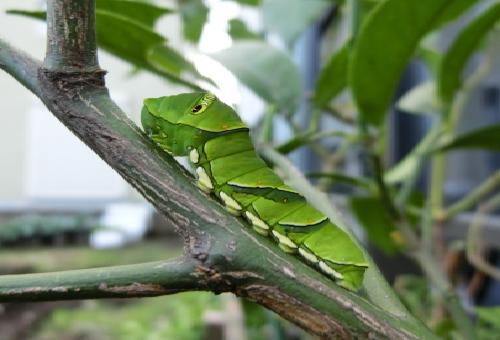 アゲハ蝶 幼虫 対策