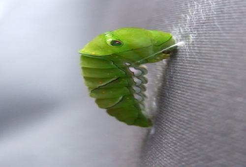 アゲハ蝶 前蛹