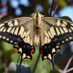 アゲハ蝶の体の構造やしくみについて!