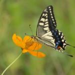 アゲハ蝶の飼育!花の蜜の与え方はどうするの!?