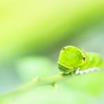 アゲハチョウの幼虫の種類や見分け方とは?