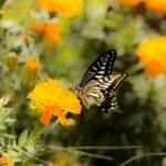 アゲハ蝶の平均寿命はどれくらい!?