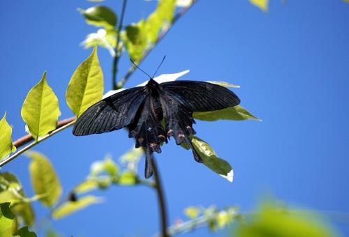 ジャコウアゲハ 幼虫 共食い