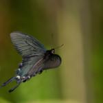 ジャコウアゲハの幼虫が持つ毒は一体何!?
