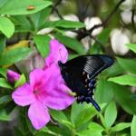 黒いアゲハ蝶の種類って何があるの?カラスアゲハってどんな種類!?