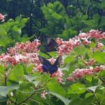 カラスアゲハの幼虫の飼育方法!エサや食草の好みについて!