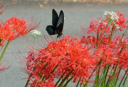 カラスアゲハ 幼虫 色