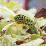 キアゲハの幼虫から前蛹までの時期について!