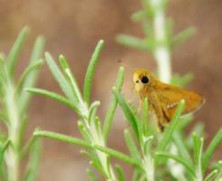 チャバネセセリ 飼育 食草