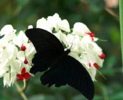 ナガサキアゲハ 幼虫 飼育