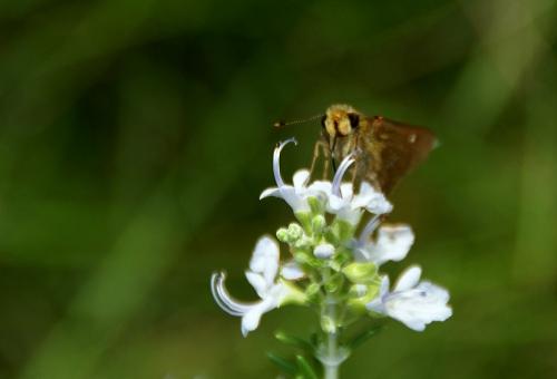 チャバネセセリ 幼虫 蛹 特徴