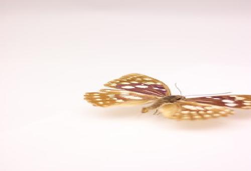 オオムラサキ 幼虫 採集