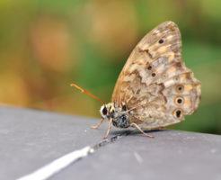 サトキマダラヒカゲ 幼虫