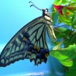 日本のアゲハ蝶の種類!何種類いる!?