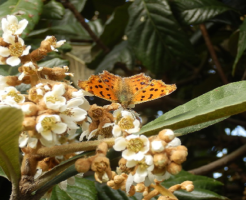 キタテハ 幼虫