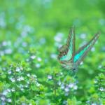 アゲハチョウの種類!青い種類のアゲハチョウって何!?