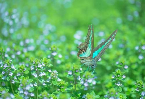 アゲハチョウ 種類 青