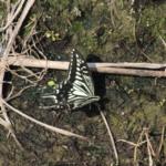 アゲハ蝶が冬に羽化するのはなぜ!?対策方法は!?
