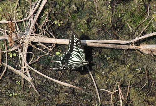 アゲハ蝶 冬 羽化