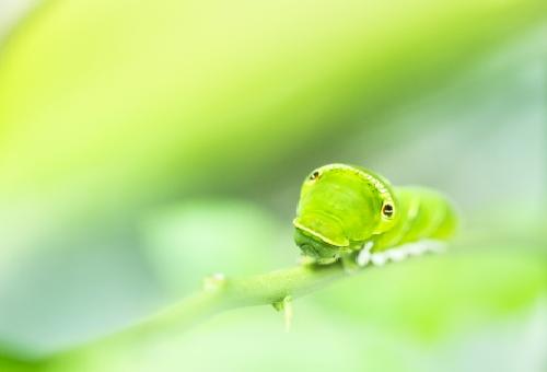 アゲハ蝶 育て方 幼虫 山椒