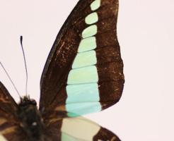 アオスジアゲハ 飼育 蛹 越冬