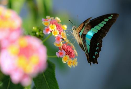 アオスジアゲハ 成虫 飼育 寿命