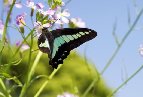 アオスジアゲハ 蛹 色 茶色