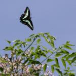 アオスジアゲハの幼虫から羽化まで!時期は?