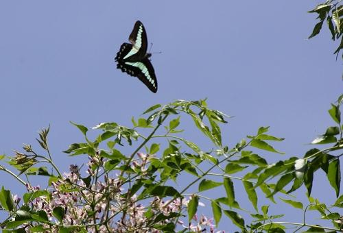 アオスジアゲハ 幼虫 時期 羽化