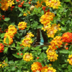 アオスジアゲハの幼虫の大きさや色は?特徴について!