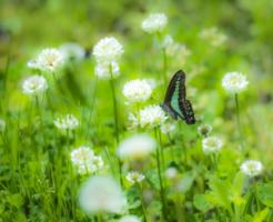 アオスジアゲハ 蛹 期間 時期 羽化