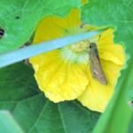 蛾に似てる!?イチモンジセセリの幼虫と成虫の生態や特徴について!