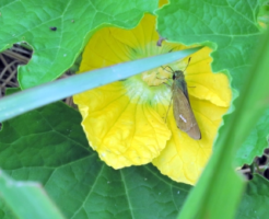イチモンジセセリ 幼虫