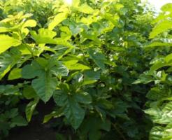 蚕 桑の葉 種類