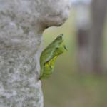 モンシロチョウの蛹の期間の育て方について!