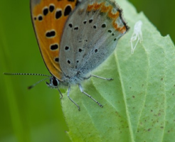 ベニシジミ 幼虫 食草